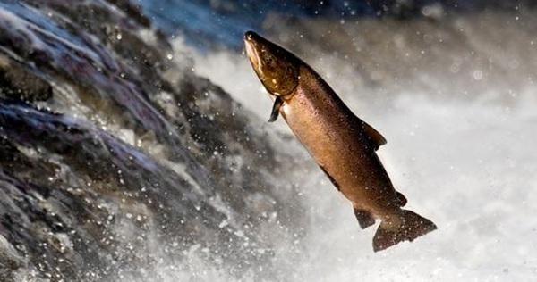Phát minh mới: Vận chuyển cá hồi qua đập nước bằng… súng thần công