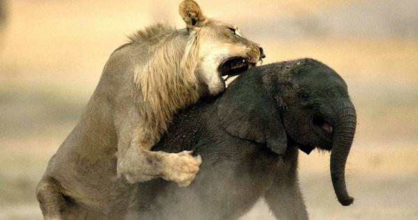 Lạc mẹ, đi thẳng vào lãnh địa sư tử, voi con bị xé nát trong cặp hàm không khoan nhượng