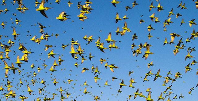 Chim bay cả đàn nhưng sao chẳng bao giờ đụng nhau. Vì sao vậy?