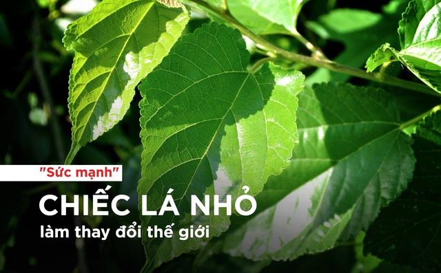 """Bài thuốc từ cây dâu tằm - chiếc lá nhỏ làm """"thay đổi thế giới"""""""