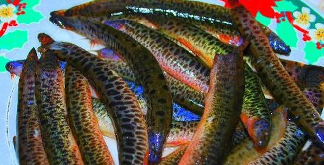 Cá chạch: Vừa tráng dương vừa kéo dài tuổi thọ