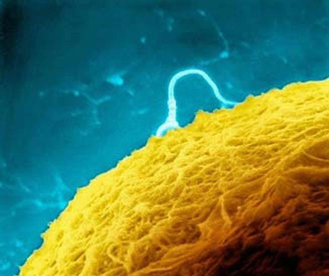 """""""Soi"""" quá trình thụ thai dưới ống kính hiển vi"""