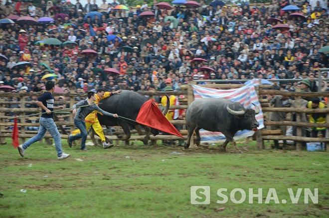 Tuyên Quang: Tưng bừng lễ hội chọi trâu Hàm Yên