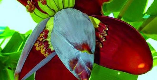 Bất ngờ bài thuốc đơn giản từ hoa chuối chữa khỏi bệnh đau dạ dày