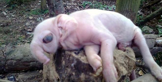 """Sáu Con Lợn Đẻ Ra """"Voi"""" Gây Xôn ..."""