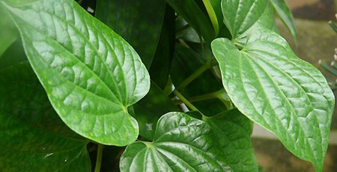 Image result for lá lốt