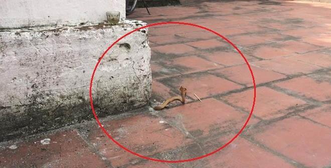 Chuyện lạ: Rắn vàng chui lên từ sân gạch của chùa tại Nam Định