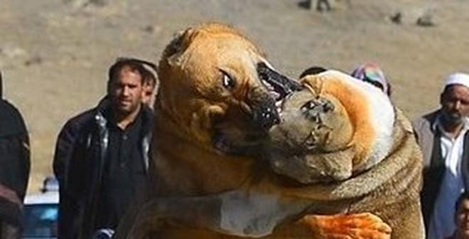 Chọi chó - thú vui đẫm máu khiến nhiều người bàng hoàng