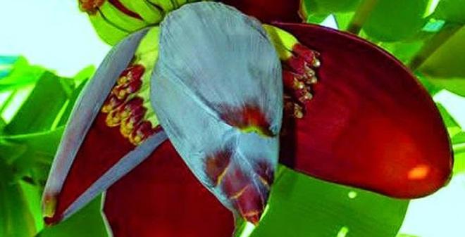 1 hoa chuoi chua benh dau da day phunutoday vn 1451443239787 104 0 410 600 crop 1451443296394 Đau dạ dày sẽ không còn hành hạ bạn chỉ với 1 ngàn đồng