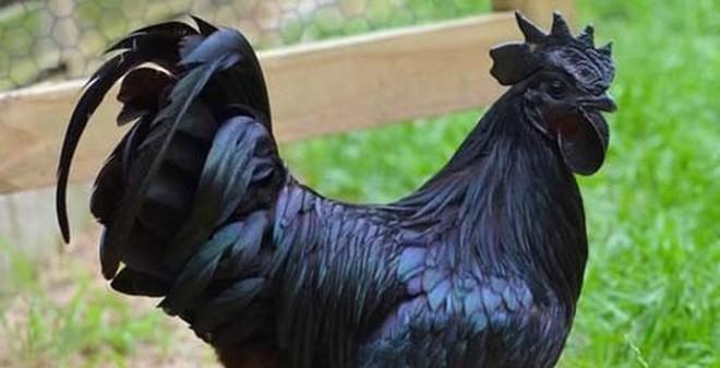 Giống gà hơn 50 triệu đồng/con có gì đặc biệt?