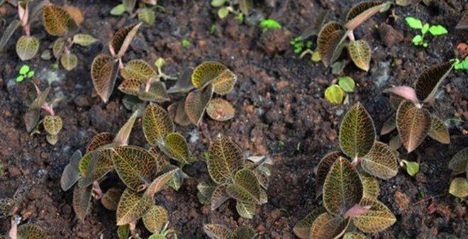 Ráo riết săn lùng loại cây rừng đắt như vàng ở Việt Nam