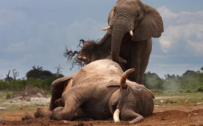 """Nọc độc chết người của """"sát thủ"""" dài 5cm có thể hạ sát 2 con voi trong nháy mắt"""