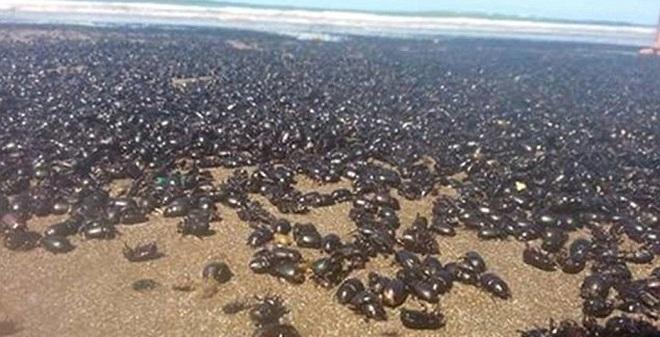 Bọ đen tấn công bờ biển: Siêu động đất kinh hoàng sắp xảy ra?