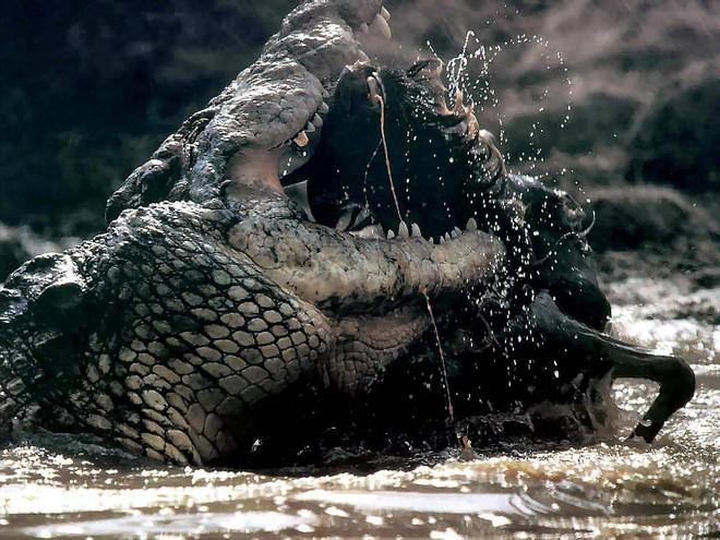 Vào nhầm lãnh thổ, trâu rừng bị cá sấu làm thịt không thương tiếc - Ảnh 5.