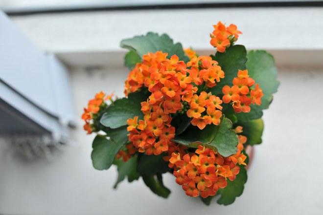 Đắt đến mấy cũng nên mua thêm hoa này đặt trong nhà ngày Tết, tài lộc rủng rỉnh cả năm - Ảnh 3.