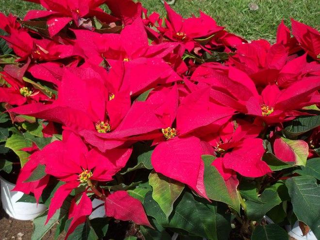 Đắt đến mấy cũng nên mua thêm hoa này đặt trong nhà ngày Tết, tài lộc rủng rỉnh cả năm - Ảnh 4.