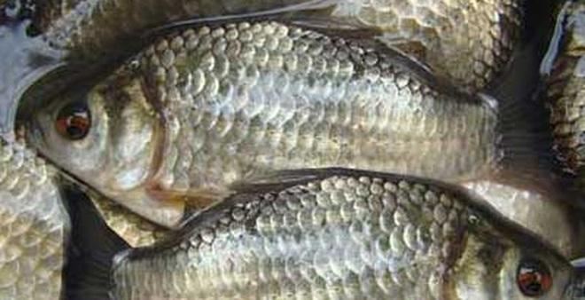 Cá diếc - Món ngon, thuốc quý