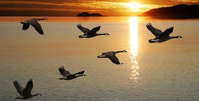 Tại sao chim lại thường bay theo hình chữ V?