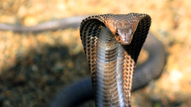 Cuộc tử chiến đau lòng giữa 2 con rắn hổ mang chúa - Ảnh 3.