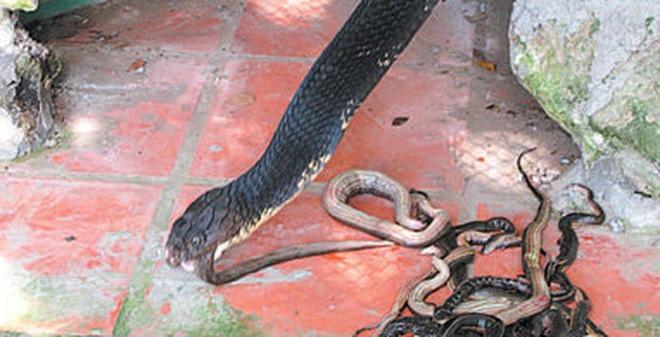 Kết quả hình ảnh cho rắn sinh trưởng vào mùa mưa