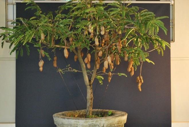 Lý do thế giới tôn vinh me là cây quý có giá trị từ gốc đến ngọn - Ảnh 3.