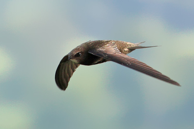 Có một loài chim có thể bay suốt cả năm trời không ngừng nghỉ - Ảnh 1.