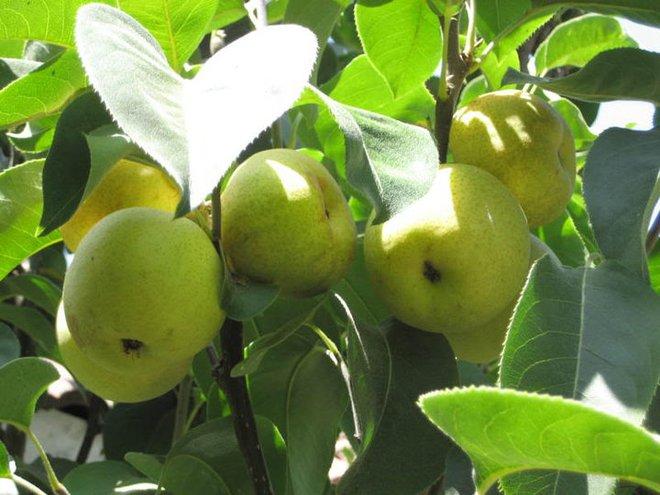 6 trái cây luôn có sẵn ngoài chợ cao tay giảm đường huyết, tốt cho cả người tiểu đường - Ảnh 5.