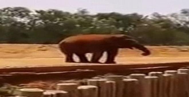 Đi vườn thú, bé gái 7 tuổi bị voi ném đá tử vong