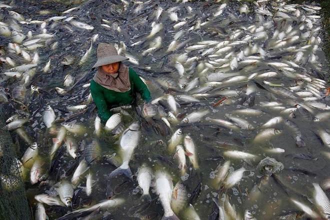 Được nuôi bằng kháng sinh và chất độc, loại cá này rất nguy hiểm nhưng được chuộng vì rẻ - Ảnh 3.