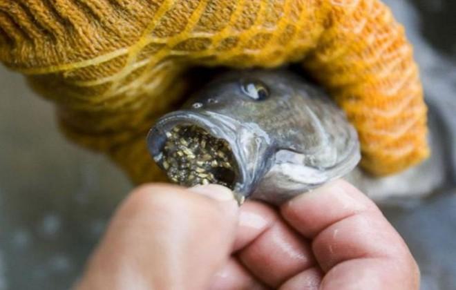Được nuôi bằng kháng sinh và chất độc, loại cá này rất nguy hiểm nhưng được chuộng vì rẻ - Ảnh 4.