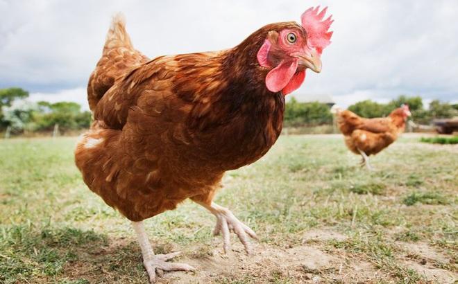 Bị bắt giữ vì... cưỡng bức gà nhà hàng xóm tới chết