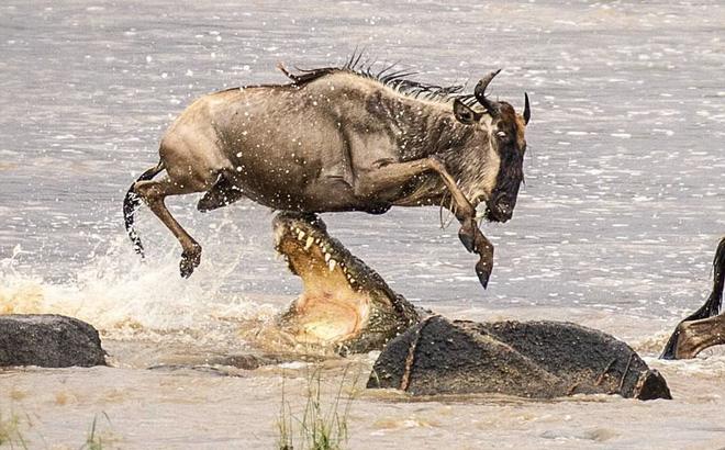 24h qua ảnh: Linh dương thoát cú đớp rợn người của cá sấu khổng lồ