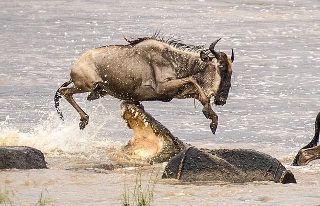 24h qua ảnh: Linh dương thoát cú đớp rợn người của cá sấu khổng lồ - Ảnh 6.