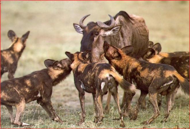 Một thân một mình, linh dương mẹ tả xung hữu đột giữa bầy chó hoang để cứu con - Ảnh 1.