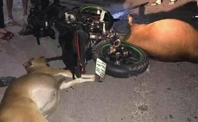 """Công an tìm chủ hai con bò bị tông chết tại chỗ sau tai nạn nhưng """"không ai dám nhận"""""""