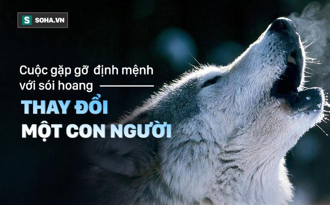 """Sói hoang """"cảm hóa"""" cuộc đời một con người: Câu chuyện lấy đi nước mắt của gã thợ săn"""