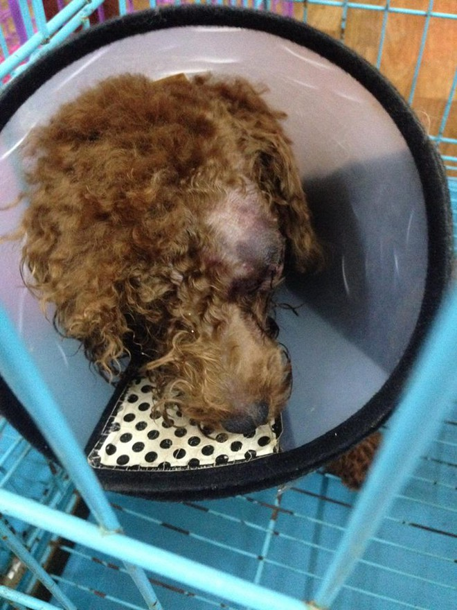 Chó Poodle bị bạn của chủ đánh chột mắt, hỏng mặt vì lỡ tè bậy lên nệm - Ảnh 5.