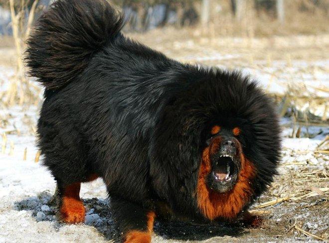 Bả chết sư tử cùng chó sói, đây chính là loài chó nguy hiểm và hung hãn nhất hành tinh - Ảnh 4.