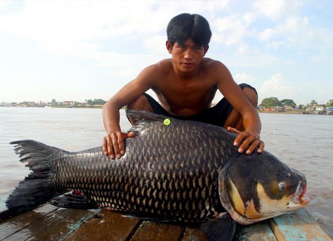 Loài cá khổng lồ có thể bị gạch khỏi sách đỏ VN: Vì sao nhà hàng sẵn sàng chi nghìn USD? - ảnh 2