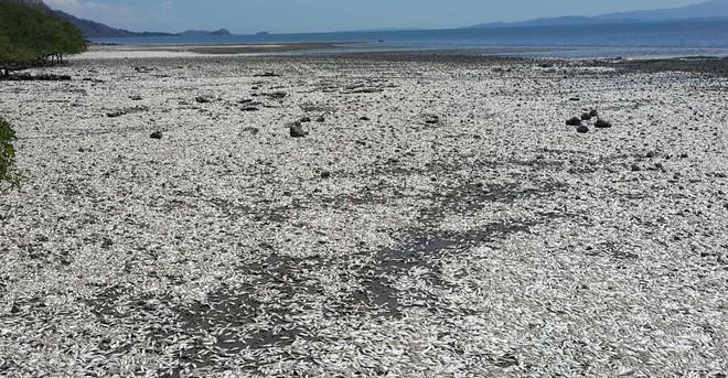 Chùm ảnh: Hiện tượng lạ khiến 1 loài cá bất ngờ chết hàng loạt tại 4 quốc gia - Ảnh 5.