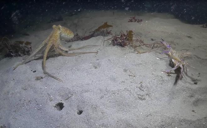 Cuộc rượt đuổi kịch tính như phim hành động giữa bạch tuộc đỏ và cua biển