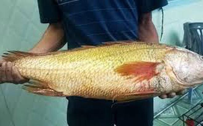 Nam thanh niên câu được cá nghi sủ vàng nặng hơn 7 kg trên biển Vũng Tàu