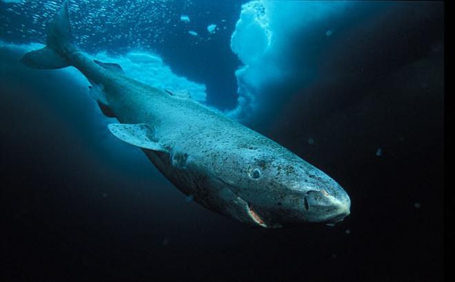 """Tiết lộ bí ẩn """"trường thọ"""" của loài cá mập 400 tuổi ở Greenland"""