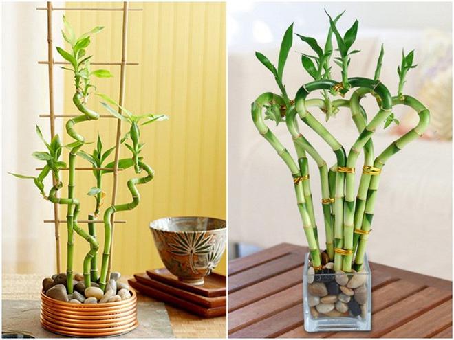 5 loại cây phong thủy hút tài lộc vào nhà được nhiều gia đình chọn mua trong dịp Tết - Ảnh 2.