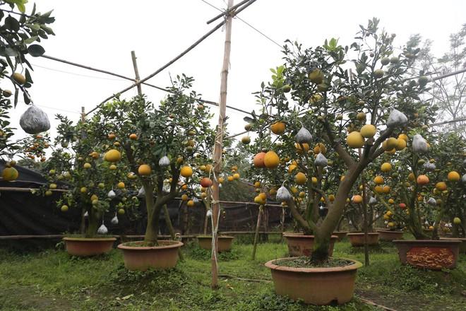 Lão nông thu về hàng trăm triệu nhờ ghép 10 loại quả trên cùng một cây cảnh ở Hà Nội - Ảnh 2.