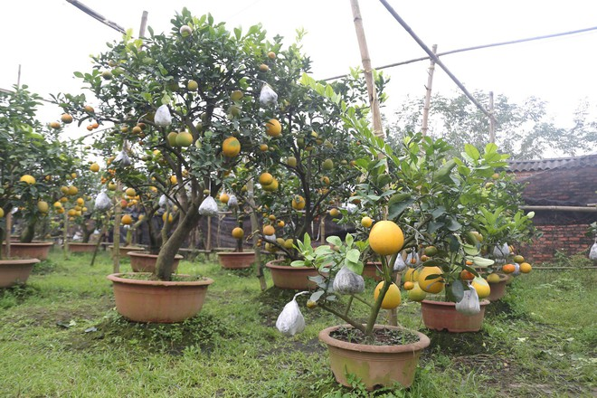 Lão nông thu về hàng trăm triệu nhờ ghép 10 loại quả trên cùng một cây cảnh ở Hà Nội - Ảnh 5.