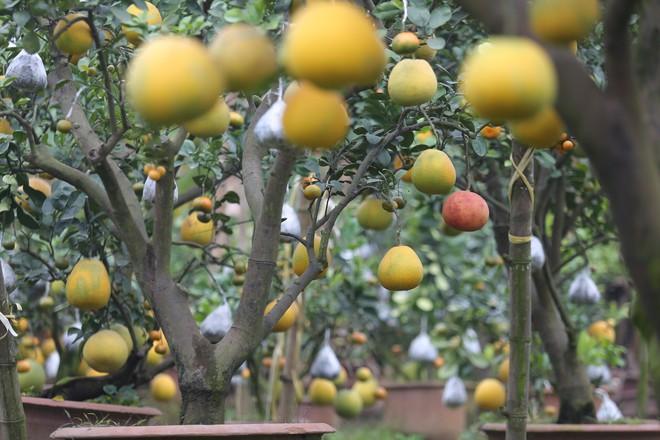 Lão nông thu về hàng trăm triệu nhờ ghép 10 loại quả trên cùng một cây cảnh ở Hà Nội - Ảnh 10.