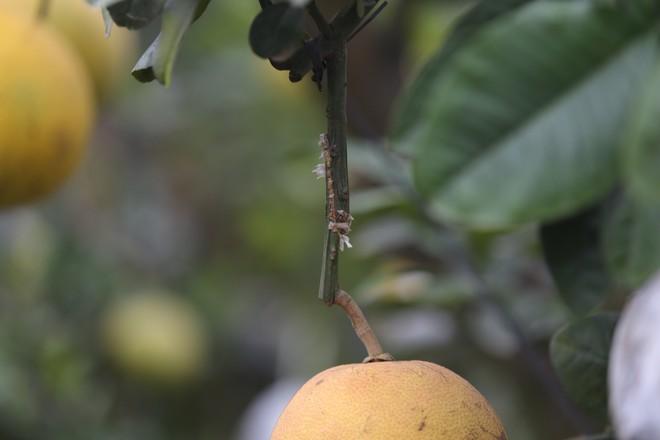Lão nông thu về hàng trăm triệu nhờ ghép 10 loại quả trên cùng một cây cảnh ở Hà Nội - Ảnh 7.