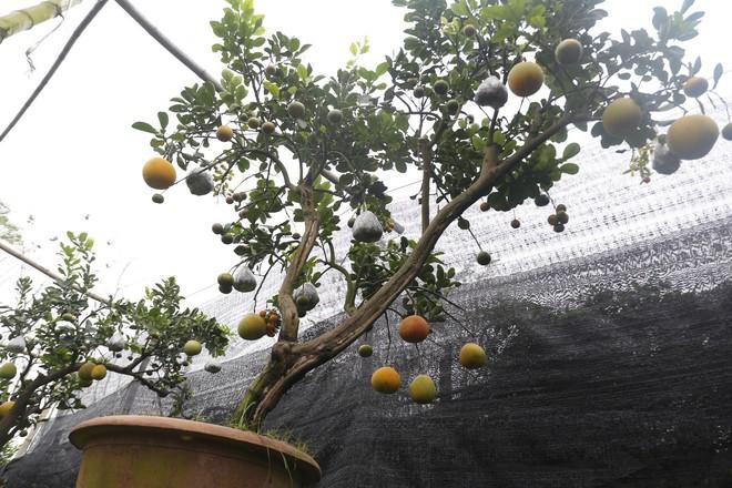 Lão nông thu về hàng trăm triệu nhờ ghép 10 loại quả trên cùng một cây cảnh ở Hà Nội - Ảnh 11.
