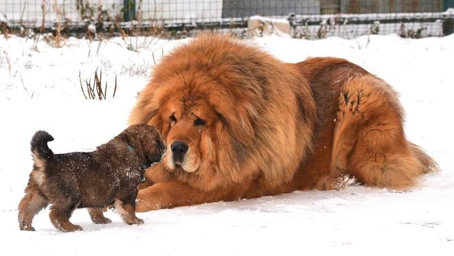 Bả chết sư tử cùng chó sói, đây chính là loài chó nguy hiểm và hung hãn nhất hành tinh - Ảnh 2.